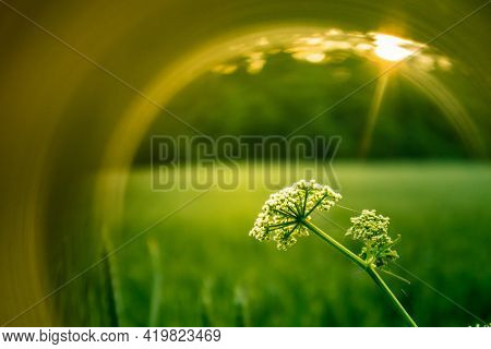 Beautiful Queen Anne\'s Lace Flowers With Artistic Light Flares. Wildflowers Growing In The Rural Me