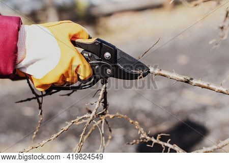 Pruning Fruit Shrubs And Trees In Spring. A Secateur In His Hands With Gloves