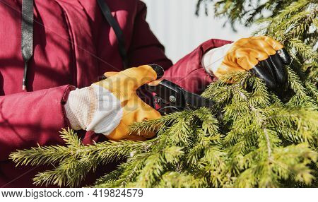 Formation Of The Crown Of Conifers In The Garden. The Woman Cuts The Tree Branch With A Secateur