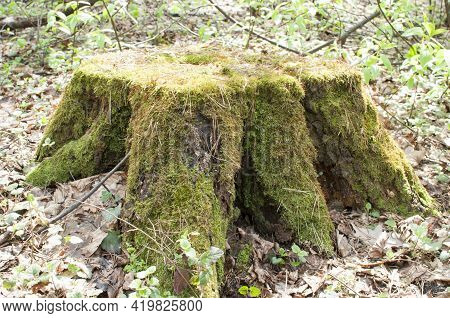 A Large Old Tree Stump In A Forest Glade. The Stump Is Overgrown With Moss.