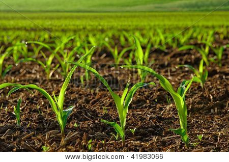 Sunlit Young Corn Plants