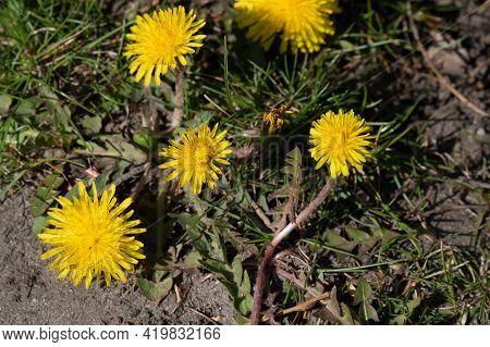 Summer Field Of Dandelions. Dandelion Flowers Are Yellow.