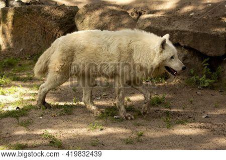 Alaskan Tundra Wolf,  Barren-ground Wolf (canis Lupus Tundrarum).