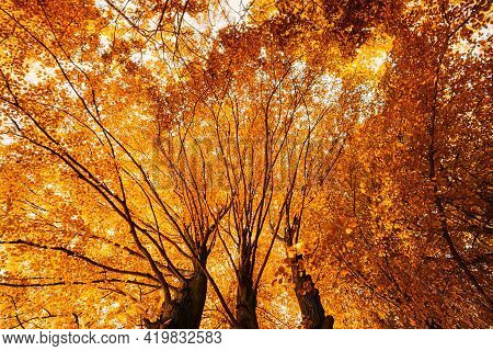 Autumn Fall Canopy Of Tall Trees With Orange Foliage. Sunlight In Deciduous Forest. Upper Branches O