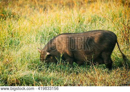 Big Household Black Pig Looking For Food In Fresh Green Grass In Farm. Pig Farming Is Raising And Br