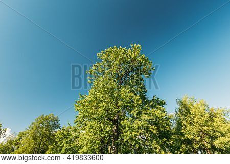 Tall Oak Trees With Young Spring Foliage Leaves. Spring Upper Branches Of Woods In Deciduous Forest