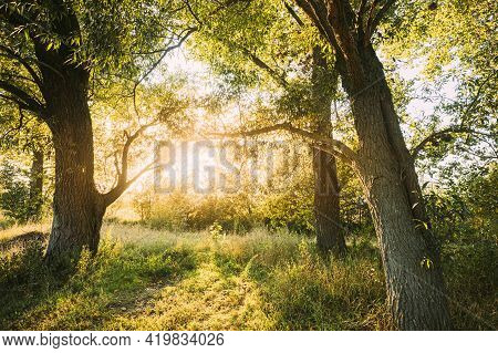 Sun Shining Through Branch And Foliage Of Tree. Deciduous Forest Summer Nature In Sunny Day. Sunset