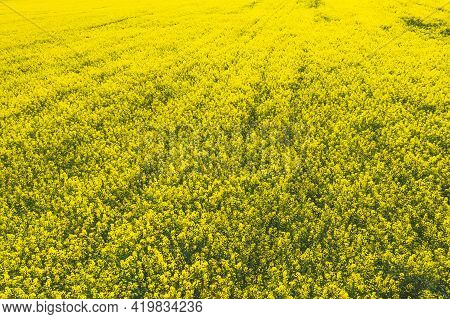 Aerial View. Agricultural Landscape With Flowering Blooming Rapeseed, Oilseed In Field Meadow In Spr