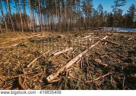 Fallen Tree Trunks In Deforestation Area. Pine Forest Landscape In Sunny Spring Day. Green Forest De