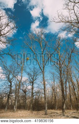 Oak Trees Without Leaves In Beautiful Early Spring Sunny Day. Nature Deciduous Forest Landscape.