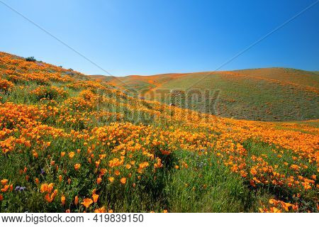 California Golden Poppies On Rolling Hills During Spring Superbloom In The High Desert Of Southern C