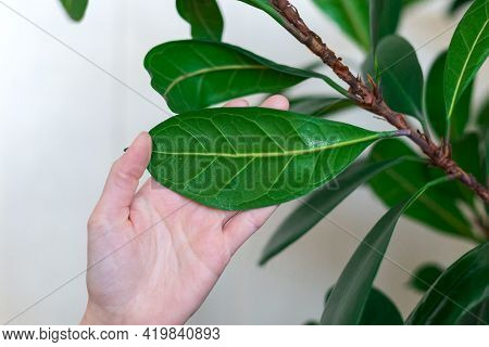 Home Plant With Large Leaves, Large Leaf On Hand Close-up, Home Plant Care, Ficus