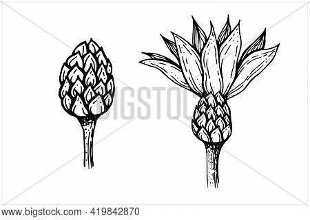 Flower Bud And Bud With Petals, Hand Drawn Vector Illustration In Black And White