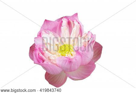 Blooming Pink Royal Lotus  Isolated On White Background With Clipping Path.royal Lotusor Indian Lotu