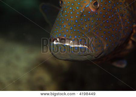 Red Sea Coralgrouper