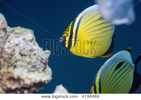 exquisite butterflyfish (chaetodon austriacus)taken in the red sea. poster