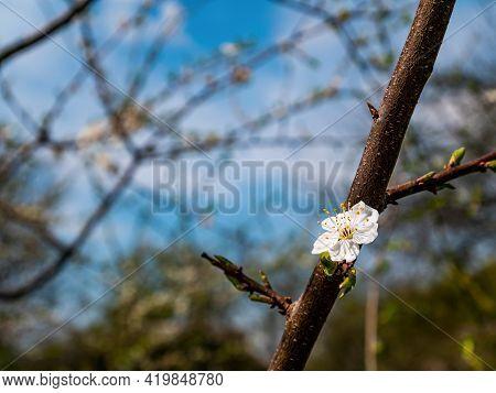 White Flower On A Plum Fruit Tree Branch. Blooming Plum Tree. White Flower. Blue Sky. Spring Gardeni