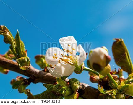 White Flower On A Branch Of Cherry Fruit Tree. Blooming Cherry Tree. White Flower. Blue Sky. Spring