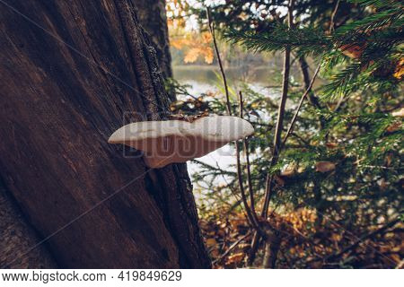 A Pair Of Sunlit Orange Mushrooms On A Tree In A Forest. Fungus Closeup Stock Photography
