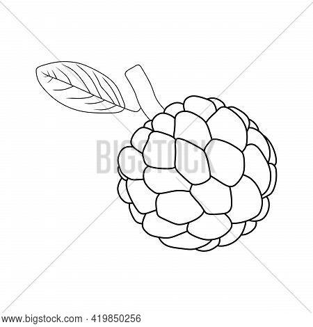 Illustration Vector Of Sugar Apple Fruit. Sugar Apple Icon. Sugar Apple Sketch