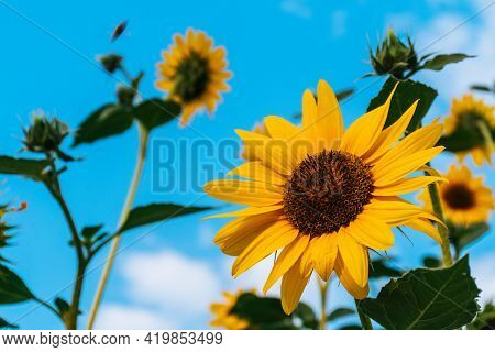 Sunflower Against Blue Sky Beautiful Yellow Sunflower With Blue Background Bloom Blossom Nature Flor