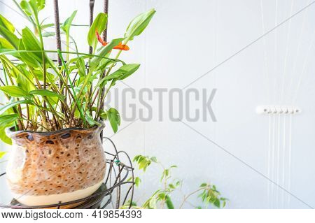 Home Green Plant In One Yellow-brown Pot On The Balcony In A Metal Stand With Artificial Light On Th