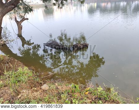 Refreshment Of Water Buffalo On Water Pond. Water Buffalo Bathing In The Pond In India. Asian Black
