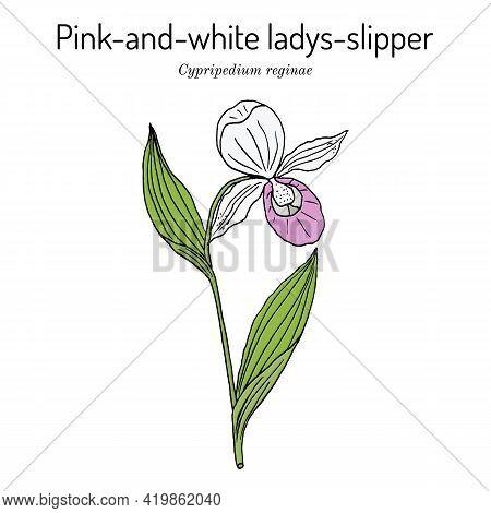 Queens Or Pink-and-white Ladys-slipper Cypripedium Reginae , State Flower Of Minnesota. Hand Drawn B