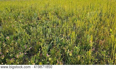Natural Background Of Meadow Spikelets, Wildflowers And Herbs. Ears Of Carex Grass At Grassland In S