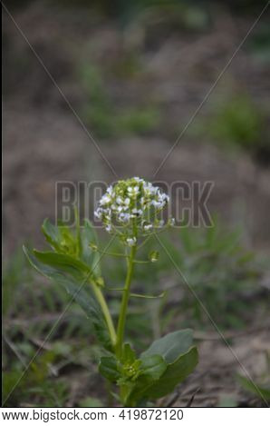 Field Pennycress (thlaspi Arvense) In South Sweden.