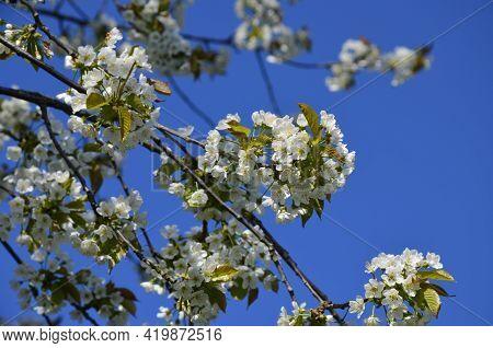 Blossoming Cherry Tree, Prunus Avium, In Spring