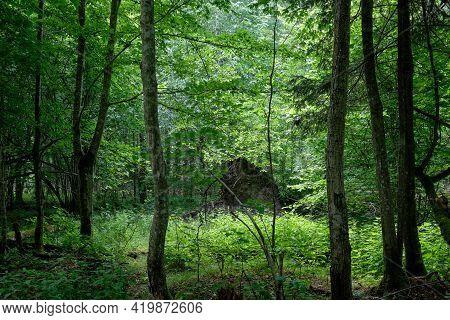 Springtime Natural Deciduous Forest With Hornbeam