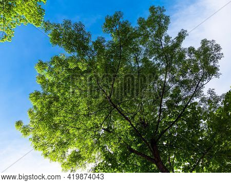 Green Tree Crown Against Blue Sky With Sunlight Through The Leaves. Beautiful Nature Background.