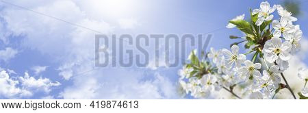 Cherry Blossoms In Small Clusters On A Cherry Branch Against A Blue Sky, Fading To White. Cherry Blo