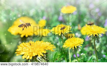 Bees Work On Yellow Dandelions And Collect Yellow Pollen. Bees Collect Nectar.