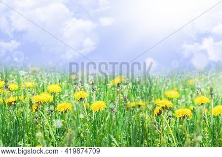 Yellow Dandelions. Bright Flowers Of Dandelions On The Background Of Green Spring Meadows. Dandelion