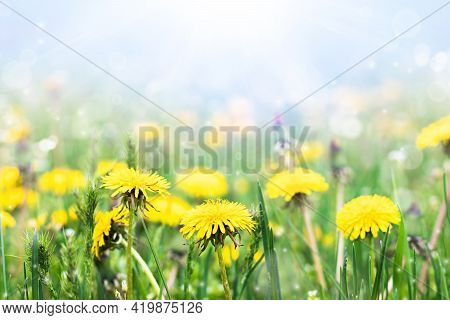 Meadow With Yellow Dandelions On A Sunny Day. Blooming Dandelions Close Up. Dandelions In The Spring