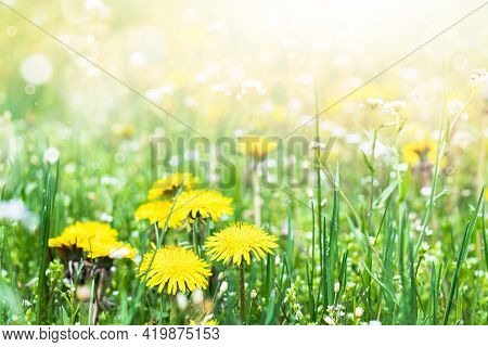 Flowers Of Yellow Dandelions In Nature In Warm Summer Or Spring On A Meadow In Sunlight. Blooming Da