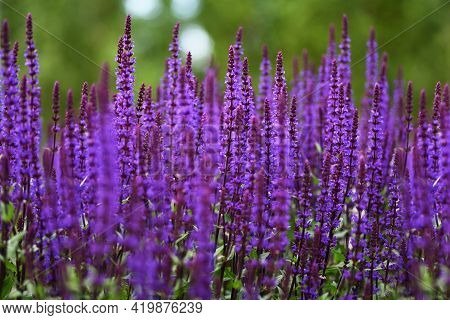 Purple Salvia Flowers For A Floral Background