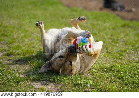 Dog Lying On The Grass. Playing The Ball Lying On His Back. Red-haired A Large Dog Holds A Ball In H