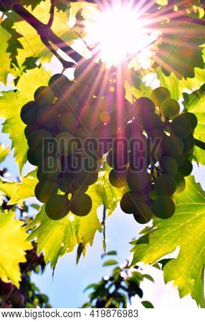 Green Grapes On A Branch In The Sun. Green Grapes In The Garden, Close-up, Selective Focus, Growing