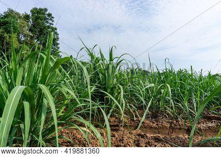 Field Of Green Leaf Sugarcane In Agriculture Planting Farm Land Under Blue Sky