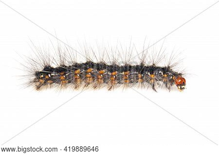 Image Of Hairy Caterpillar Isolated On White Background. Insect. Worm. Animal.