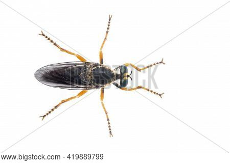 Image Of The Asilidae Are The Robber Fly Family, Also Called Assassin Flies. On White Background. Fr