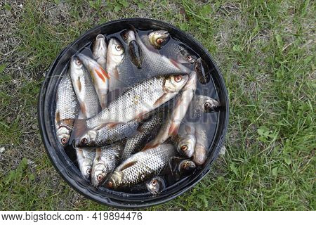 Freshly Caught Fish Roach Bream In A Bucket In The Summer