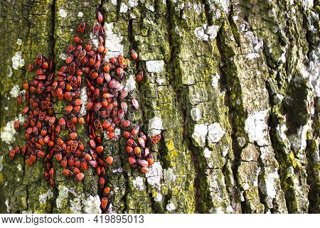 Fire Insects (pyrrhocoris Apterus) In A Tree Trunk. On The Trunk Of A Tree There Are Beetles With A