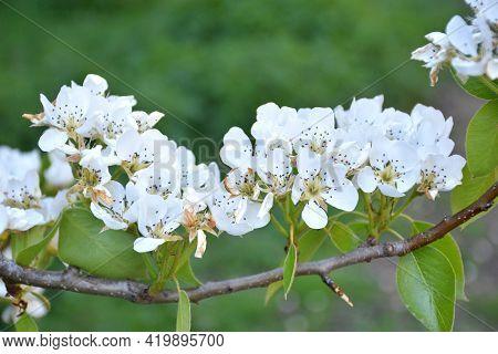 Branch Full Of Pear Flowers (pyrus Calleryana). Sunny Day In Munilla, La Rioja, Spain.
