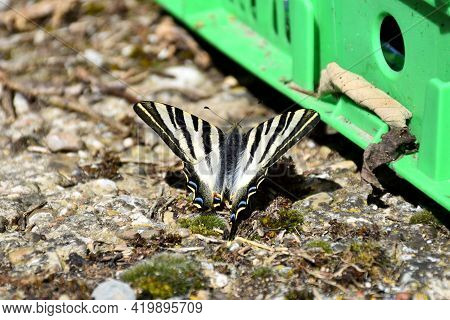 Butterfly Iphiclides Podalirius. It Is A Species Of Lepidoptera Ditrisio Of The Papilionidae Family
