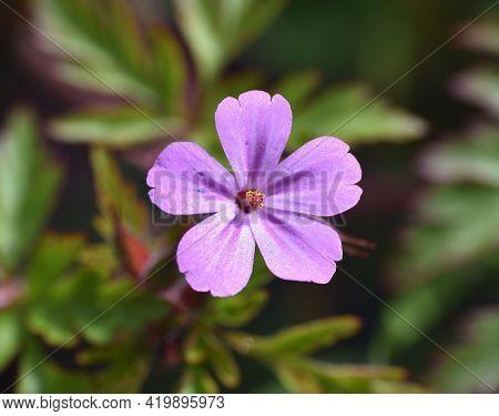 Macro Photo Of Geranium Robertianum Flower. With Pink And Purple Petals. Sunny Day In Munilla, La Ri