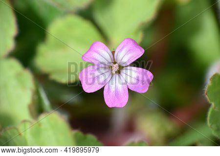 Wild Geranium Flower (geranium Rotundifolium). Grass Field Next To Country Road. Munilla, La Rioja,